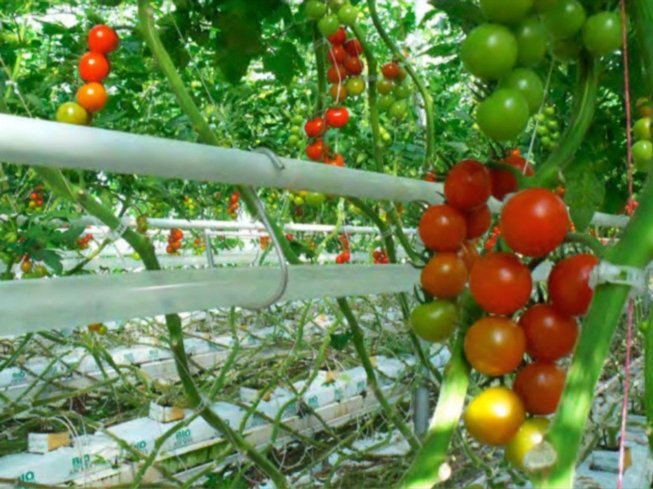 Sunnyside Greenhouse Tomatoes