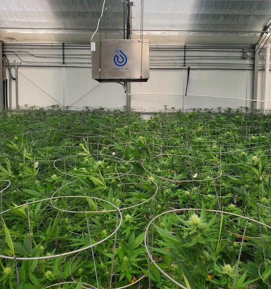 dehuking dehumifier hanging above cannabis plants